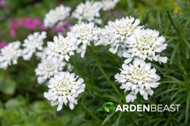Candytufts